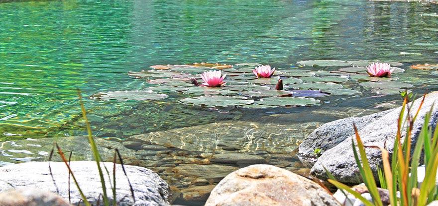 Schwimmteiche Wasserpflanzen